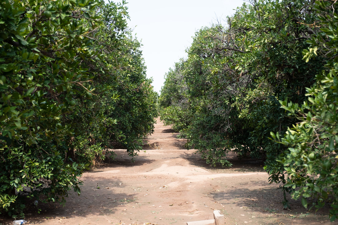 Jalapeno Bucks' Orange Groves